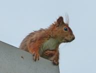 Eichhörnchen10